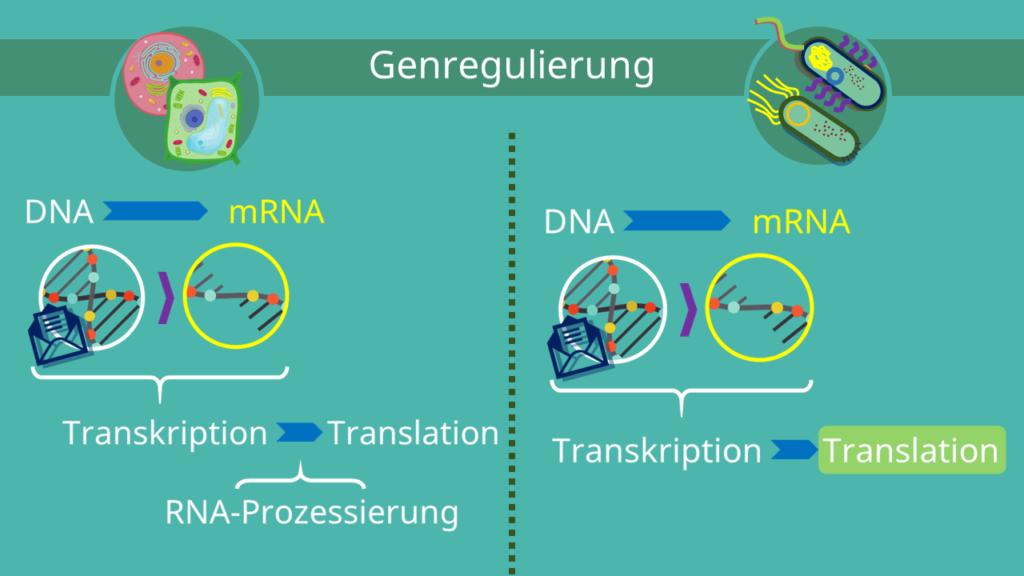 Genregulierung, Eukaryoten, Prokaryoten, Transkription, Translation, Prozessierung