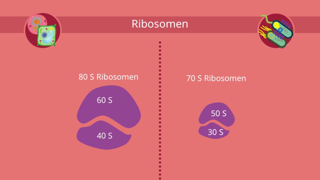 Ribosom, 80S, 70S, Eukaryoten, Prokaryoten