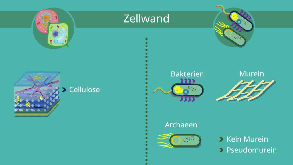 Zellwand, Eukaryoten, Prokaryoten, Murein, Cellulose, Pseudomurein