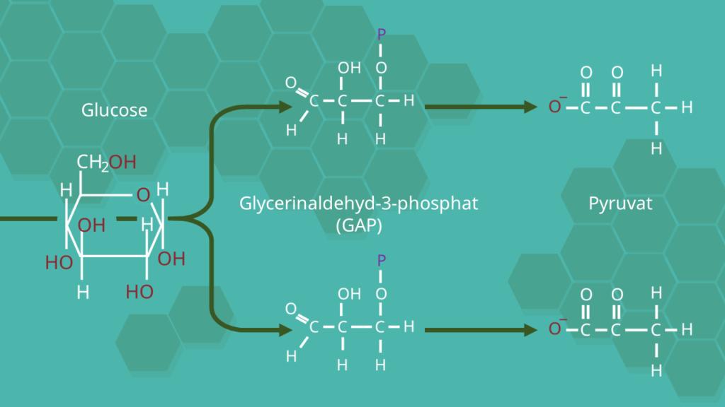Glykolyse, GAP, Glycerinaldehyd-3-phosphat, Pyruvat