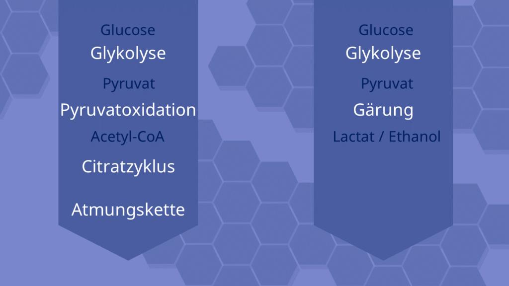 Glykolyse, Zellatmung, Pyruvat, Pyruvatoxidation, citratzyklus, Atmungskette, Gärung, alkoholische Gärung, Milchsäuregärung, Ethanol, Lactat, ATP
