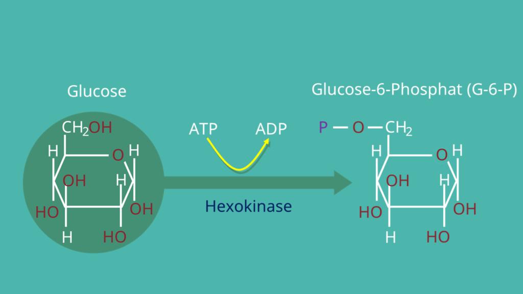 Glucose, Glykolyse, Glucose - 6 -Phosphat