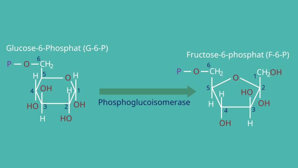 Glykolyse, Glucose-6-Phosphat, Fructose-6-Phosphat