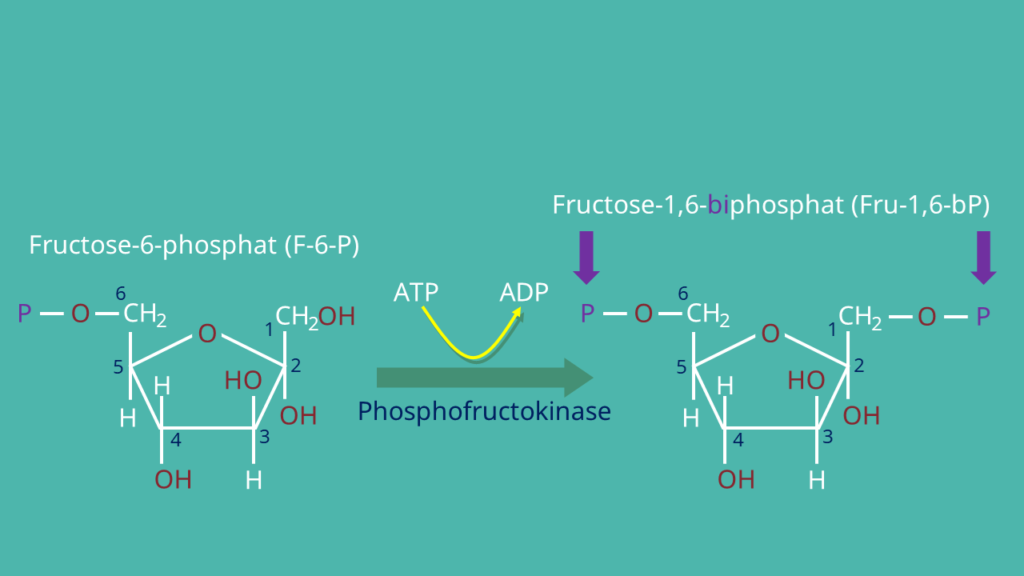 Glykolyse, Fructose-6-Phosphat, Fructose-1.6-biphosphat
