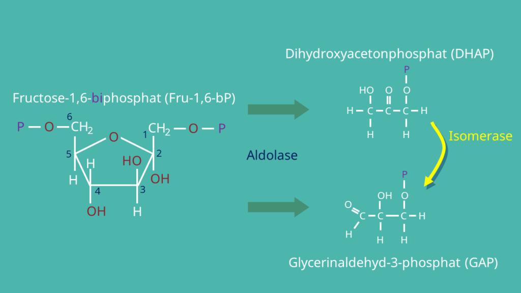 Glykolyse, Fructose-1,6-bisphosphat, Dihydroxyacetonphosphat, Glycerinaldehyd-3-phosphat, DHAP, GAP