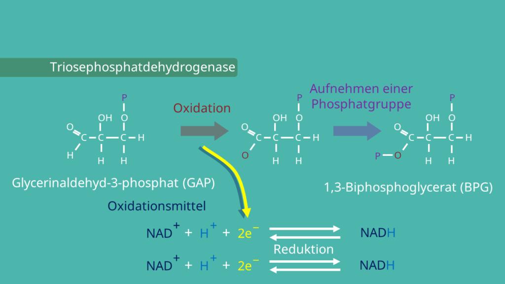 Glykolyse, 1,3-Bisphosphoglycerat, Glycerinaldehyd-3-phosphat
