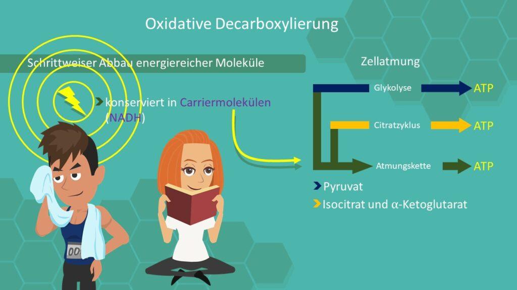 Oxidative Decarboxylierung, Zellatmung, Glykolyse, Atmungskette, Pyruvat, NADH, ATP