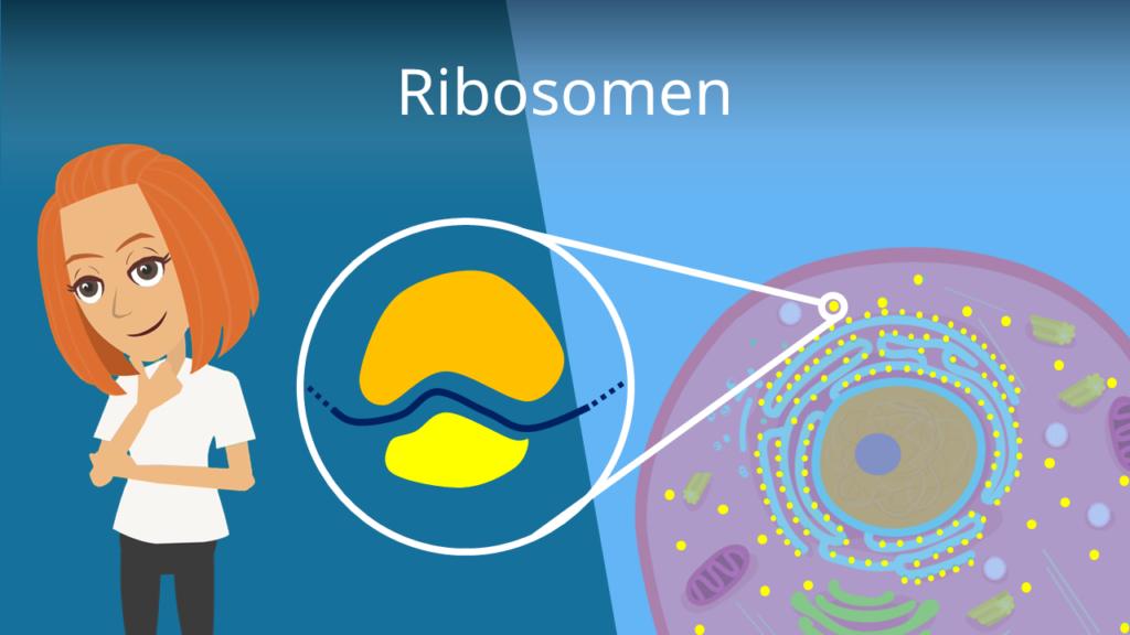 Zum Video: Ribosomen