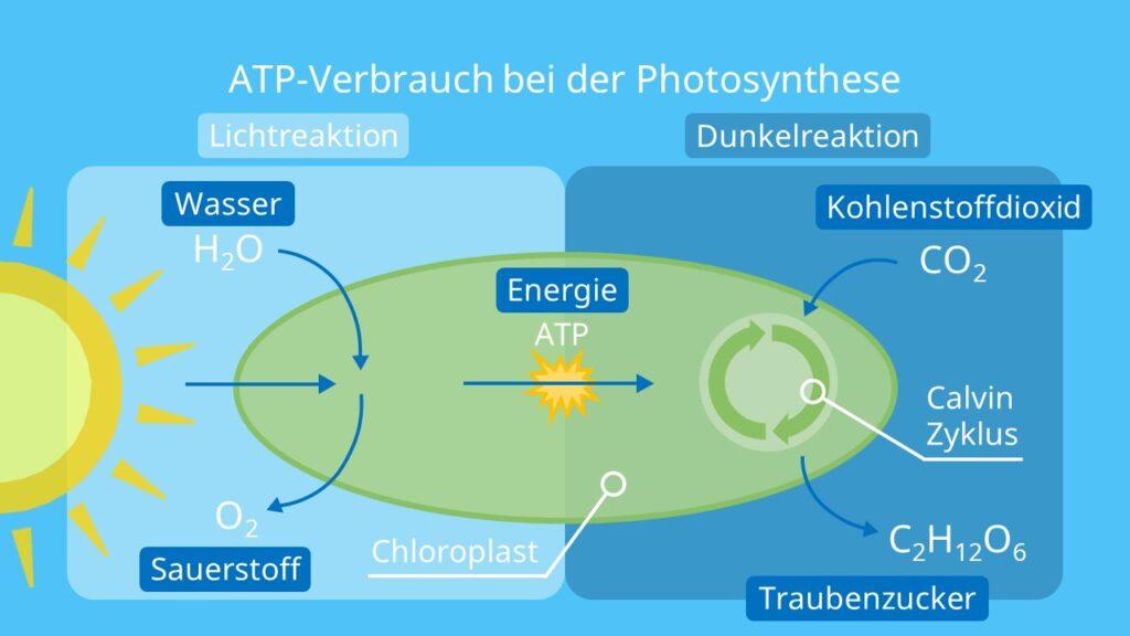 ATP-Verbrauch bei der Photosynthese, Chloroplasten, Fotosynthese, Energie, Lichtreaktion, Dunkelreaktion, Calvin-Zyklus