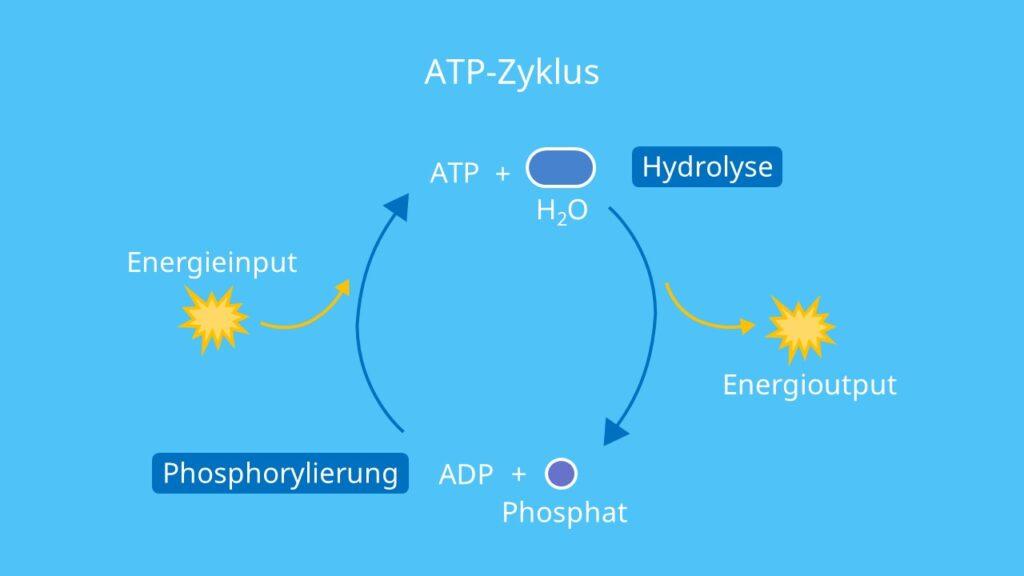 ATP-Zyklus, Hydrolyse, Phosphorylierung, ATP, ADP, Adenosintriphosphat, endotherm, exotherm