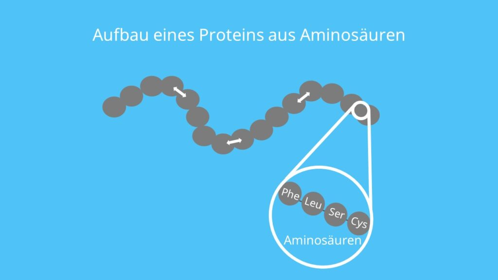 Protein, Aminosäure, Aufbau