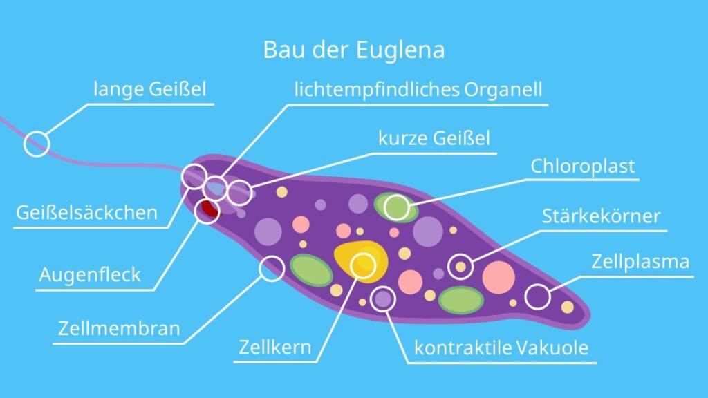 Bau der Euglena, Augentierchen, Geißeltierchen, Flagellata, Geißel, Augenfleck, lichtempfindliches Organell, Brückentier