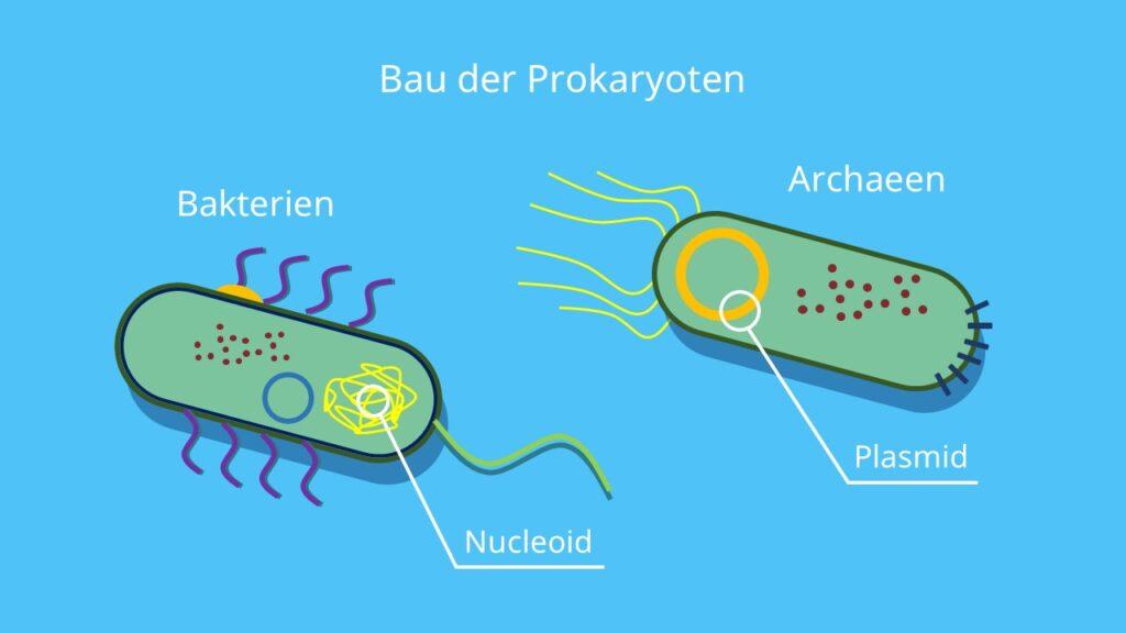 Bau der Prokaryoten, Einzeller, Prozyte, Bakterium, Archaeen