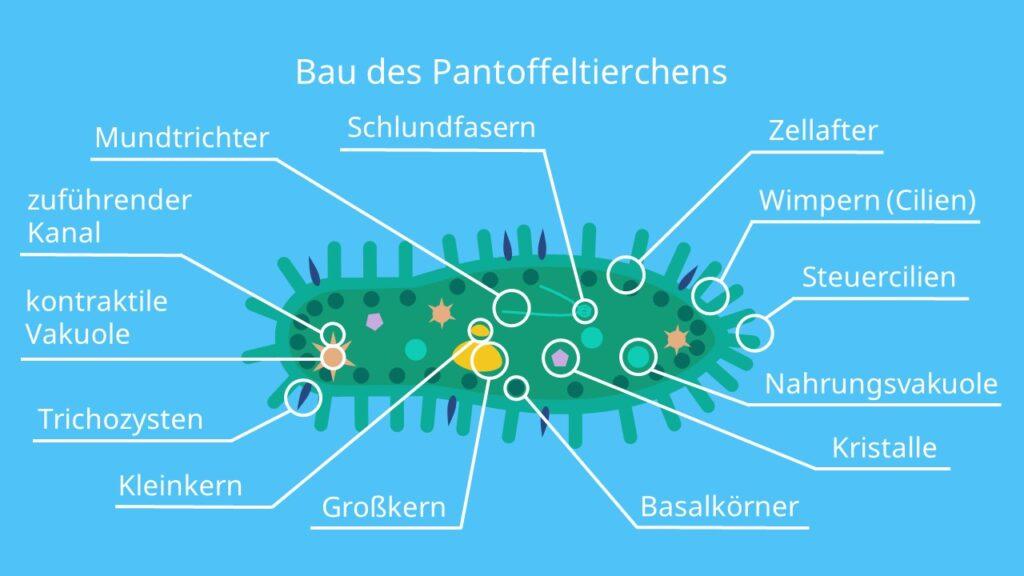 Bau des Pantoffeltierchens, Wimperntierchen, Einzeller, Paramecium caudatum, Ciliata, Cilien, Kerndimorphismus