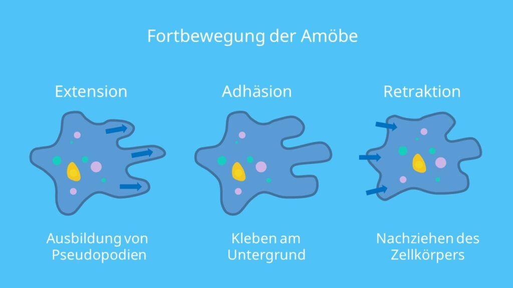 Fortbewegung der Amöbe, Amoeba proteus, Pseudopodien, Wechselfüßchen, amöboid
