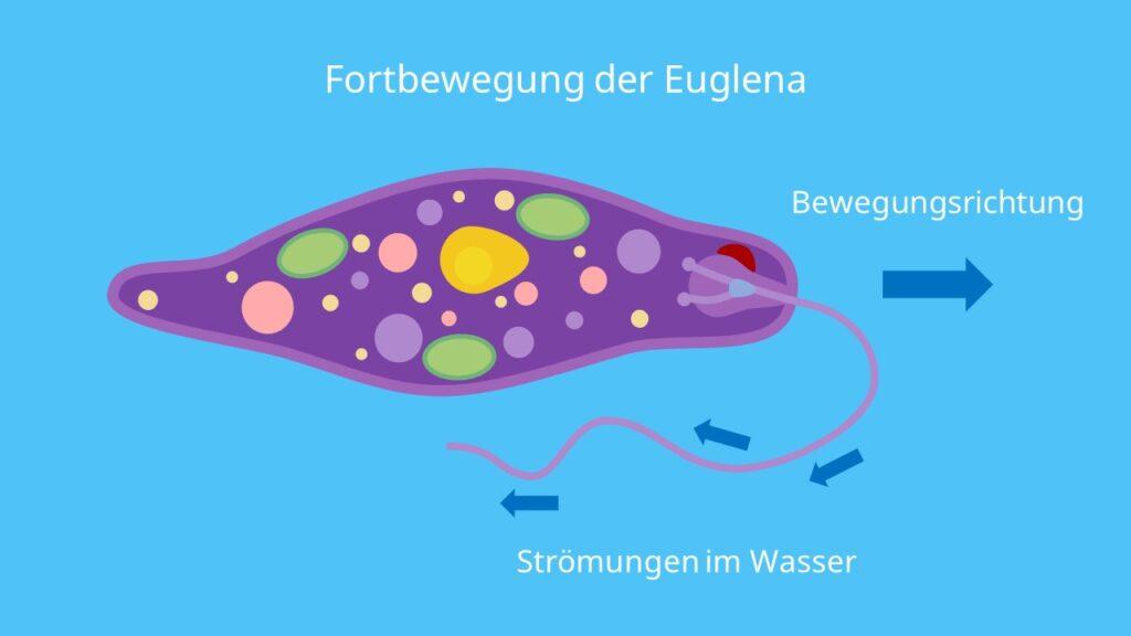 Fortbewegung der Euglena, Geißel, Schwimmgeißel, Längsachse