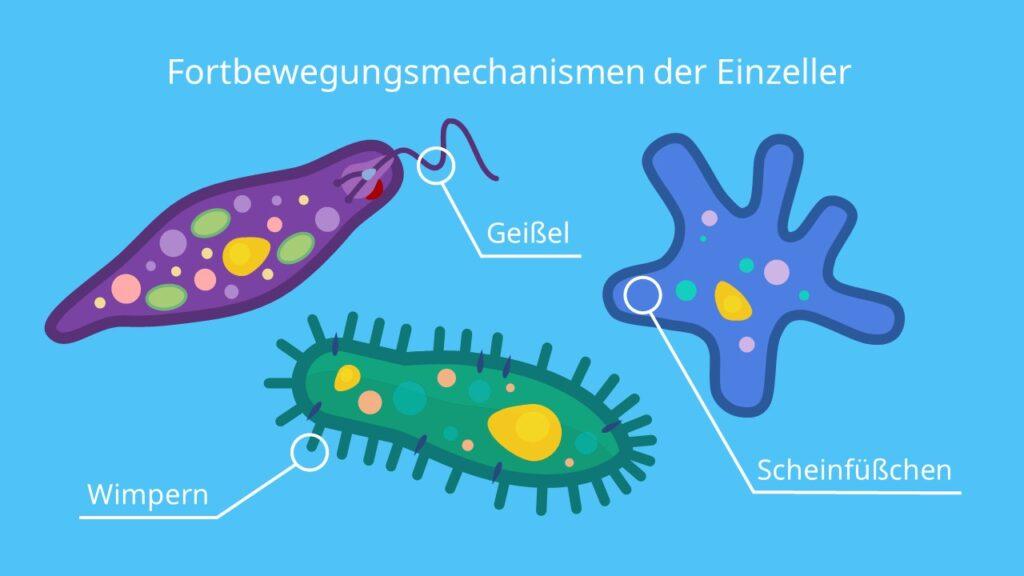 Fortbewegungsmechanismen der Einzeller, Wimperntierchen, Geißeltierchen, Wurzelfüßer, Geißel, Wimpern, Cilien, Pseudopodie, Scheinfüßchen