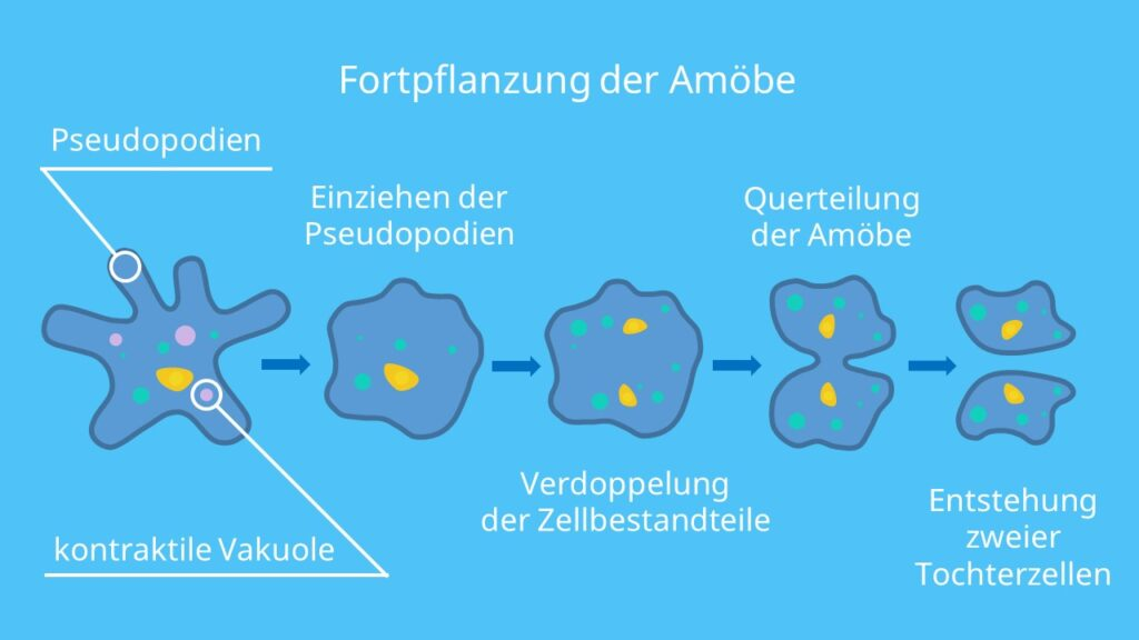 Fortpflanzung der Amöbe, Querteilung, Teilung, Amoeba proteus