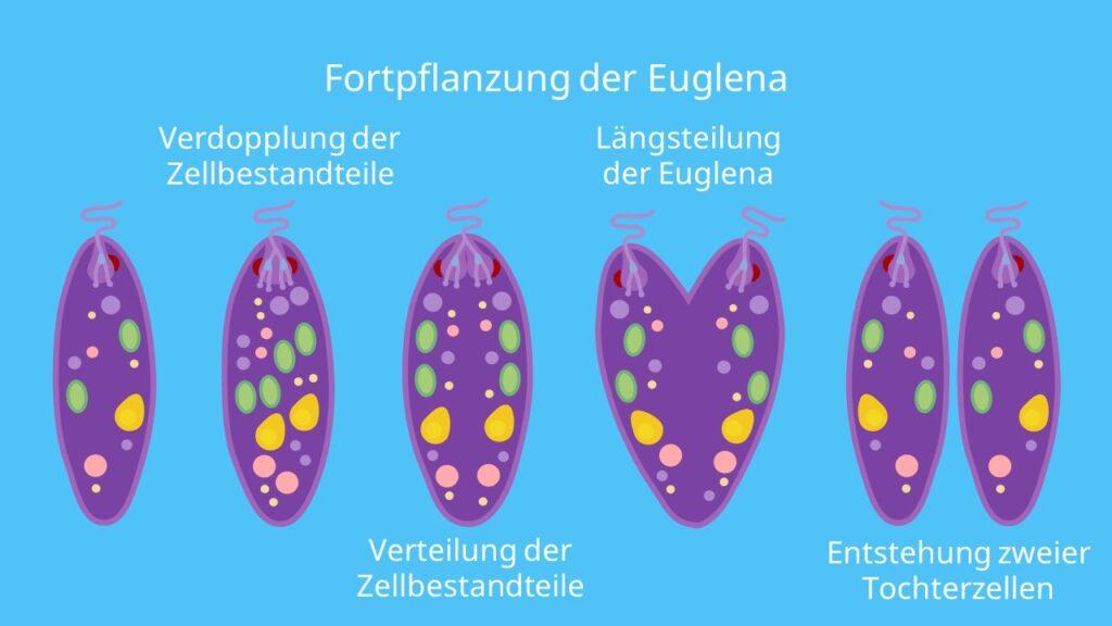 Fortpflanzung der Euglena, Längsteilung, Mitose, Verdopplung