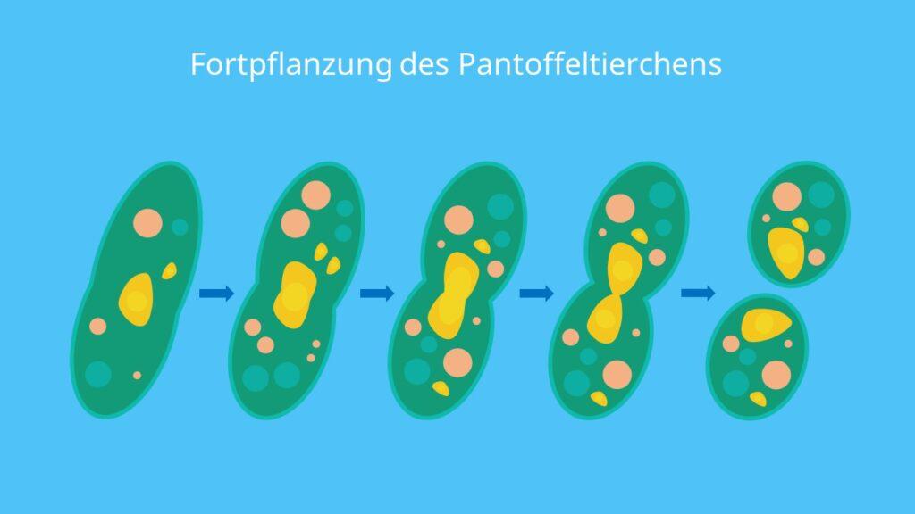 Fortpflanzung des Pantoffeltierchens, Querteilung, Konjugation, Kerndimorphismus, Zellteilung, Mitose