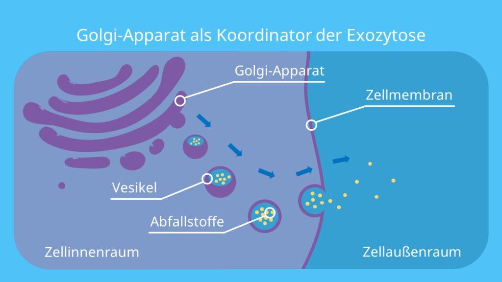 Golgi-Apparat als Koordinator der Exozytose, Exozytose, Golgi Apparat, Vesikel, Endomembransystem, Exosomen