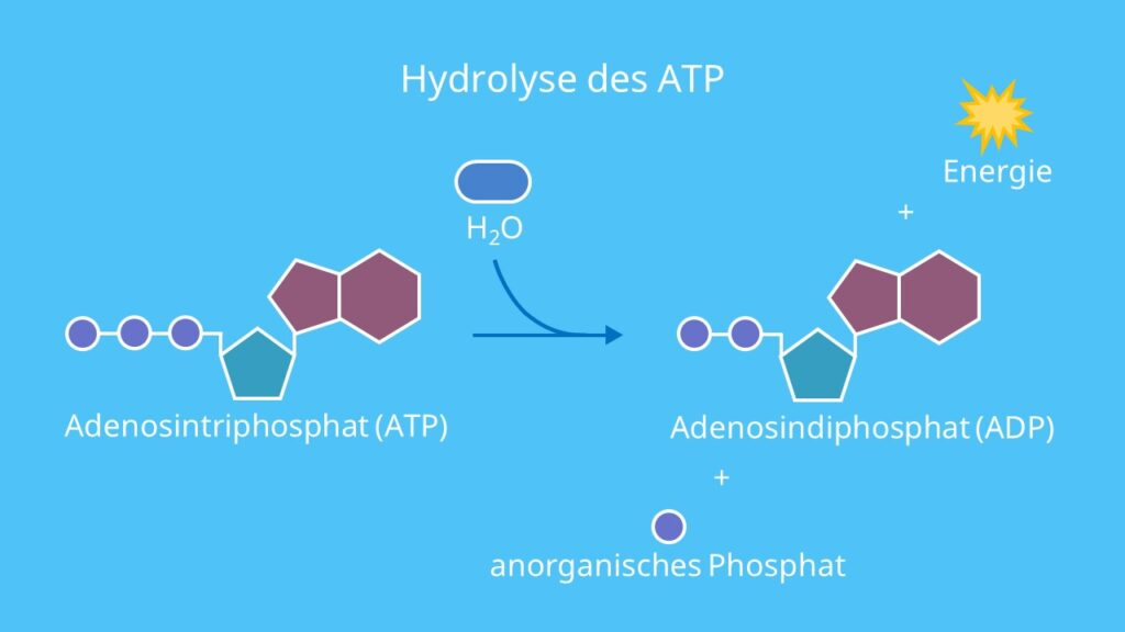 Hydrolyse des ATP, Adenosintriphosphat, Adenosindiphosphat, ATP, ADP, Hydrolyse, Energie, Energiebereitstellung, Energieträger