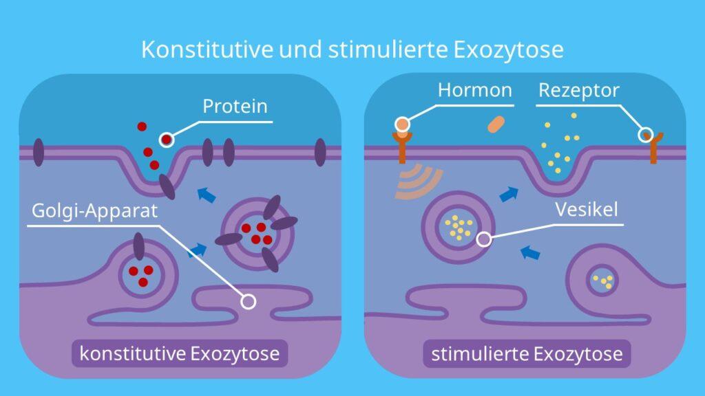Konstitutive und stimulierte Exozytose, Exozytose, Vesikel, Exosom, Insulin, GTP, Plasmamembran