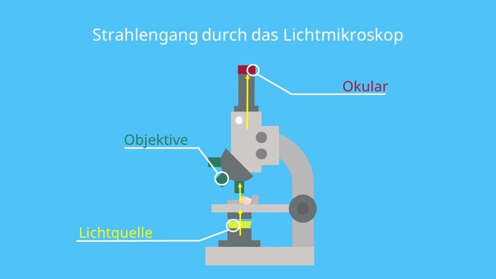 Strahlengang durch das Lichtmikroskop, Linsensysteme, Okular, Lichtquelle, Linse, Objektiv