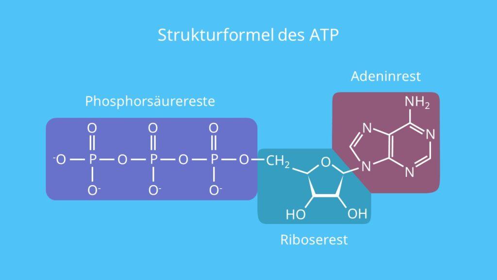 Strukturformel des ATP, Adenosintriphosphat, Phosphorsäurerest, Adenin, Ribose, Energie