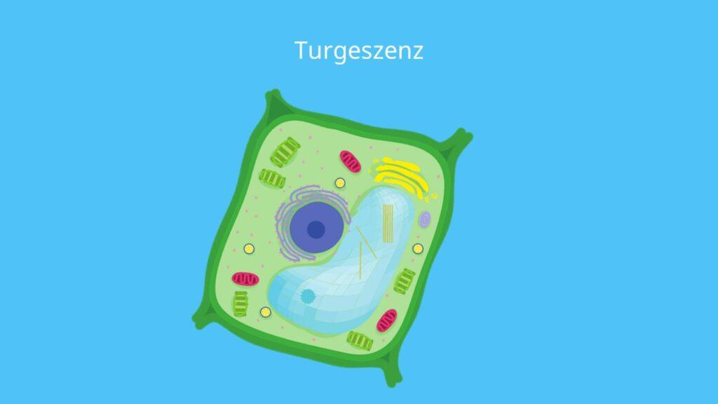 Turgeszenz, Deplasmolyse, Pflanzenzelle, Osmose, hypoton, Protoplast