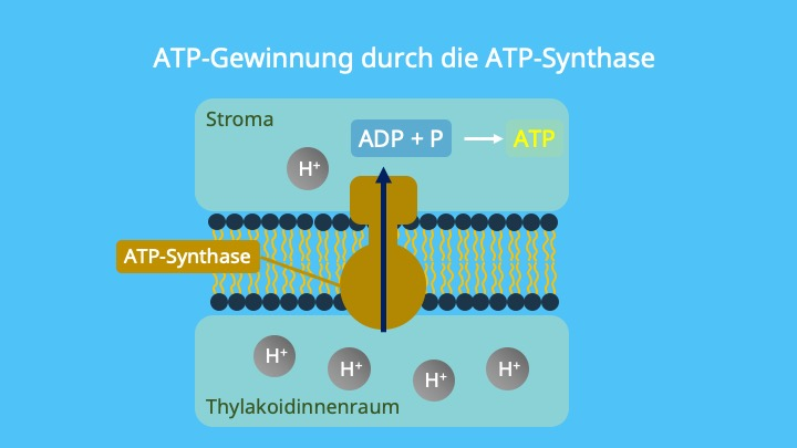 Photophosphorylierung, Chemiosmose, Protonengradient, ADP, Phosphat, Chemisches Potential, elektrisches Potential