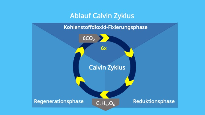 Photosynthese, Calvin Zyklus, ATP, Stroma, Chloroplasten, RuBisCo, Kohlenstoffdioxid, Fixierung