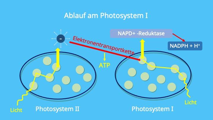 Ferredoxin, Chlorplasten, Thylakoidmembran, Chlorophyll, NADPH, NADP-Reduktase, P700