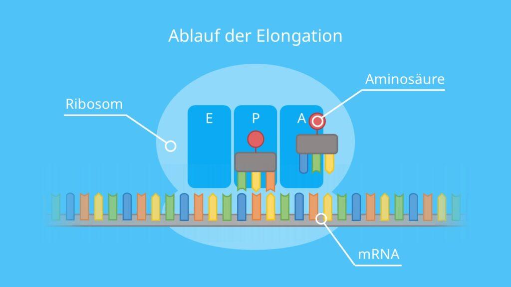 Ablauf der Elongation, Translation, Proteinbiosynthese, tRNA, Ribosom, mRNA