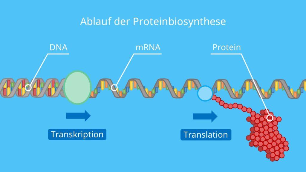 Ablauf der Proteinbiosynthese, Transkription, Translation, Proteinherstellung, DNA, mRNA, tRNA, Protein, Ribosom