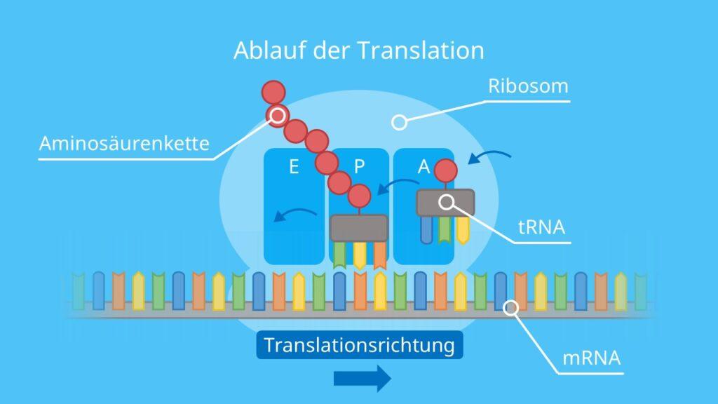 Ablauf der Translation, Proteinbiosynthese, Aminosäure, Aminosäurenkette, Protein, Ribosom, tRNA, mRNA