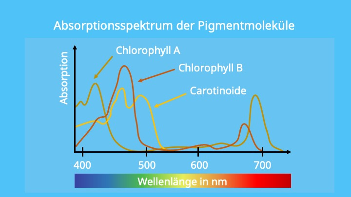 Chlorophyll a, Chlorophyll b, Carotinoide, Photosynthese, Lichtreaktion