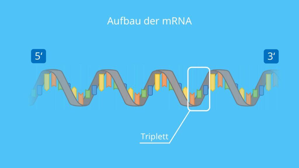 Aufbau der mRNA, mRNA, Einzelstrang, Helix, Nukleotid, Triplett