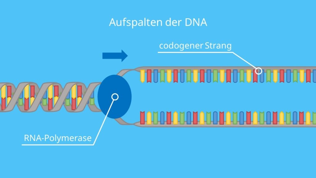 Aufspalten der DNA, RNA-Polymerase, DNA, RNA, mRNA, Transkription