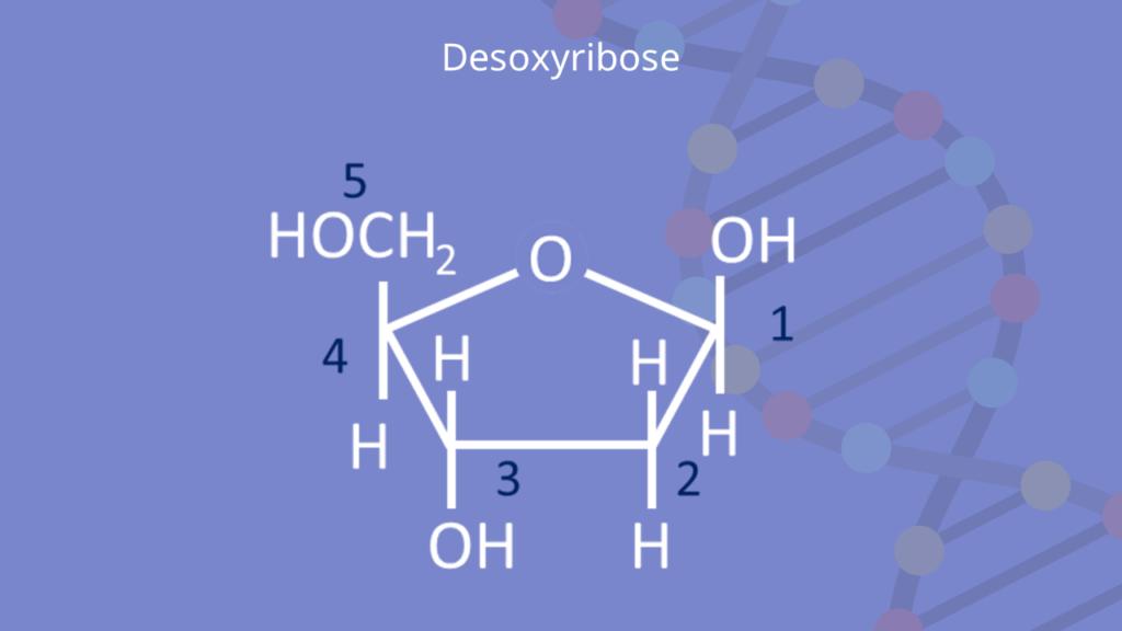 DNA, RNA, Nukleotid, Pentose, Nukleosid, Zucker