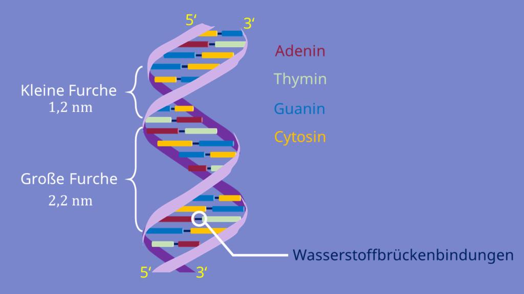 Basen, DNA, Nukleotide, Doppelhelix, Wasserstoffbrückenbindungen, Zucker, Phosphat