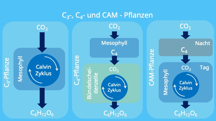 Photosynthese, Calvin Zyklus, Chloroplasten, Mesophyll, Bündelscheidenzellen, RubisCo, PEP-Carboxylase