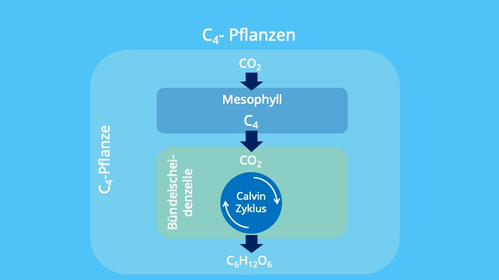 Mesophyllzellen, Photosynthese Photorespiration,PEP-Carboxylase, Bündelscheidenzellen, räumliche Trennung