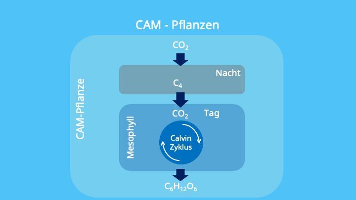 Chloroplasten, Photosynthese, Crassulaceen-Säurestoffwechsel, Malat, Äpfelsäure, Vakuole, PEP-Carboxylase