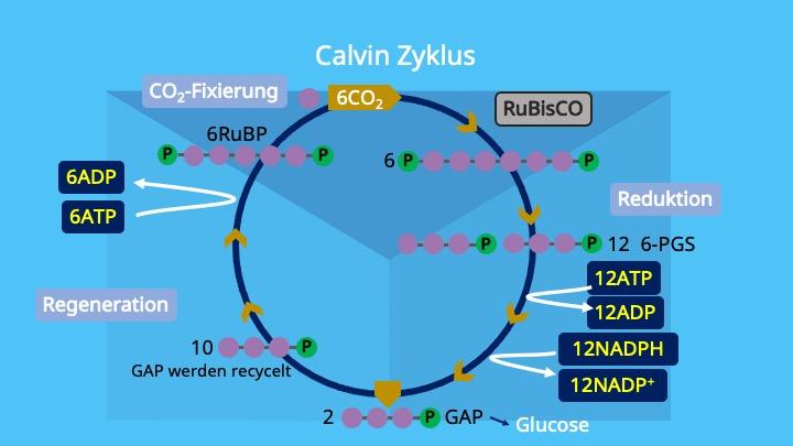 Calvin Zyklus, Photosynthese, Chloroplasten, Stroma, Ribulose 1,5 bisphosphat, Glycerinaldehyd-3-phosphat