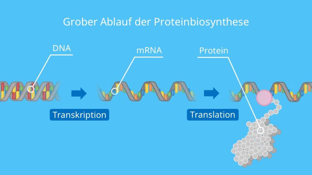 Grober Ablauf der Proteinbiosynthese, Translation, Transkription, Proteinherstellung, Proteine, DNA, mRNA, Ribosom
