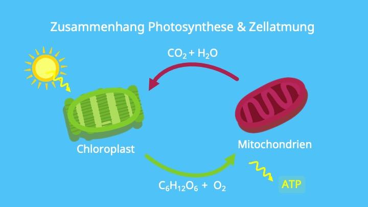 Photosynthese, ATP, Lichtreaktion, Calvin Zyklus, NADPH, Mitochondrien, Chloroplasten