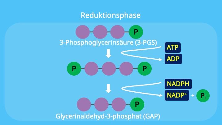 Calvin-Zyklus, Chloroplasten, Stroma,NADPH, 3-Phosphoglycerinsäure, ATP, Glycerinaldehyd-3-phosphat, 1,3-Bisphosphoglycerinsäure