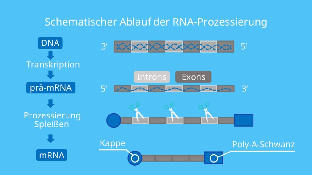 Schematischer Ablauf der RNA-Prozessierung, Splicing, Polyadenylierung, Proteinbiosynthese, Transkription, Translation, mRNA, Intron, Exon, Poly-A-Schwanz