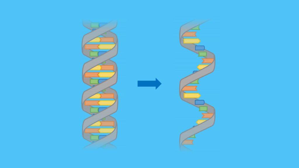 mRNA, RNA, DNA, Transkription, Translation, Basen